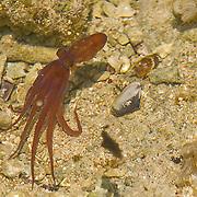 Octopus in tidepool