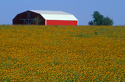 Large red barn in a field of yellow flowers