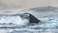A Humpback whale dives into the freezing cold water as snow is falling from the sky. Tromsø, Norway.