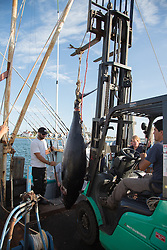 fishermen on the docks of Montauk hauling in a Giant Tuna