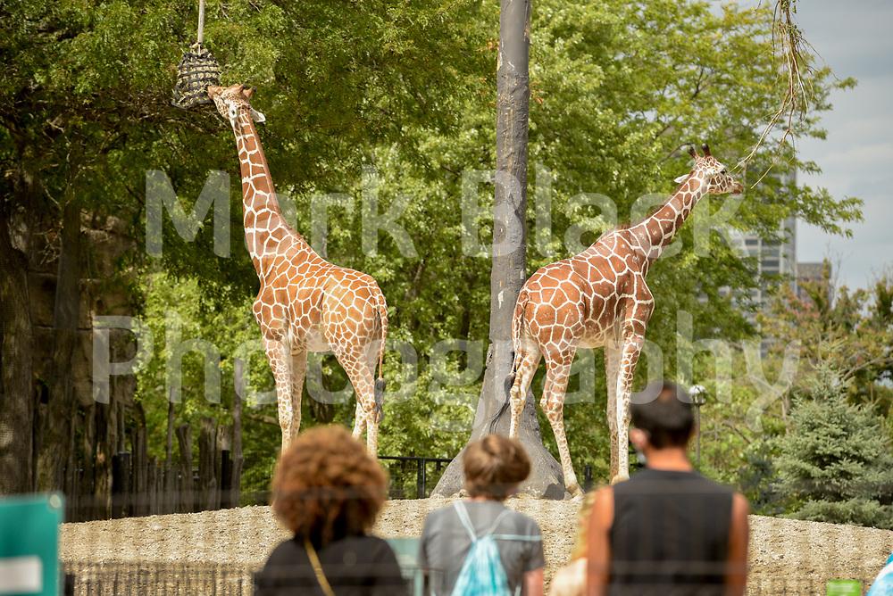 Lincoln Park Zoo Giraffes in Chicago on Thursday, Sept. 3, 2020. Photo by Mark Black