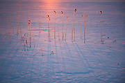 Frost covered reeds throws sharp blue shadows in sunrise over ice of lake Raiskums, Gauja National Park (Gaujas Nacionālais parks), Latvia Ⓒ Davis Ulands | davisulands.com