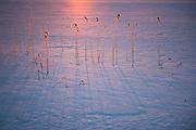 Frost covered reeds throws sharp blue shadows in sunrise over ice of lake Raiskums, Gauja National Park (Gaujas Nacionālais parks), Latvia Ⓒ Davis Ulands   davisulands.com
