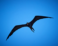 Magnificent Frigatebird (Fregata magnificens). Willemstad, Curacao. Image taken with a Nikon D3s camera and 70-300 mm VR lens.