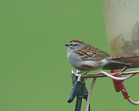 Chipping Sparrow at the bird feeder. Image taken with a Nikon D5 camera and 600 mm f/4 VR lens (ISO 1600, 600 mm, f/5.6, 1/100 sec).