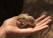 The lepidopterologist holds a mouse that has been infected by ticks.