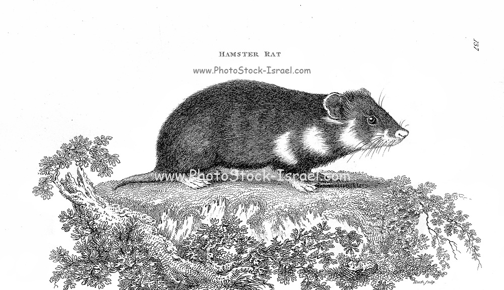 Hamster rat from General zoology, or, Systematic natural history Vol 2 Mammalia, by Shaw, George, 1751-1813; Stephens, James Francis, 1792-1853; Heath, Charles, 1785-1848, engraver; Griffith, Mrs., engraver; Chappelow. Copperplate Printed in London in 1801 by G. Kearsley