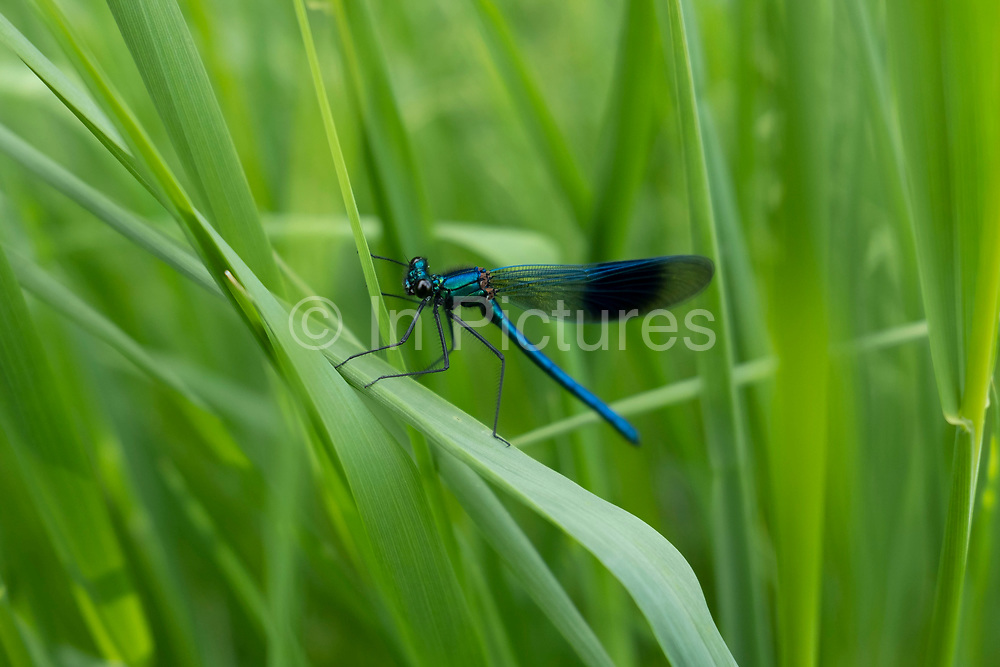 Damselfly on a blade of grass near the River Teme on 23rd May 2020 in Martley, United Kingdom. Martley is a village and civil parish in the Malvern Hills district of the English county of Worcestershire. Damselflies are insects of the suborder Zygoptera in the order Odonata. They are similar to dragonflies, which constitute the other odonatan suborder, Anisoptera, but are smaller, have slimmer bodies, and most species fold the wings along the body when at rest, unlike dragonflies which hold the wings flat and away from the body.