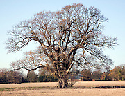 Large oak tree in winter standing in field, Sutton, Suffolk, England