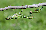 Sphodromantis viridis is a species of praying mantis that is kept worldwide as a pet. Its common names include Green Mantis, African mantis, giant African mantis, and bush mantis