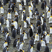 King Penguin (Aptenodytes p. patagonica) colony in the South Georgis Islands.