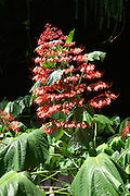 flower, Vaipahi Waterfall and Gardens, Island of Tahiti, French Polynesia<br />
