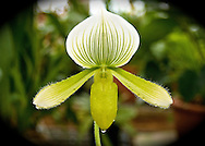 A pale green and white-striped lady slipper orchid drips with mist (Paphiopedilum maudiae)