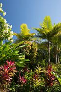 Cordyline, Mussaenda erythrophylla, Roystonea regia (Royal Palm) and Mangifera indica (Mango) the Hyde Park Garden, St. George's, Grenada, The West Indies, The Caribbean