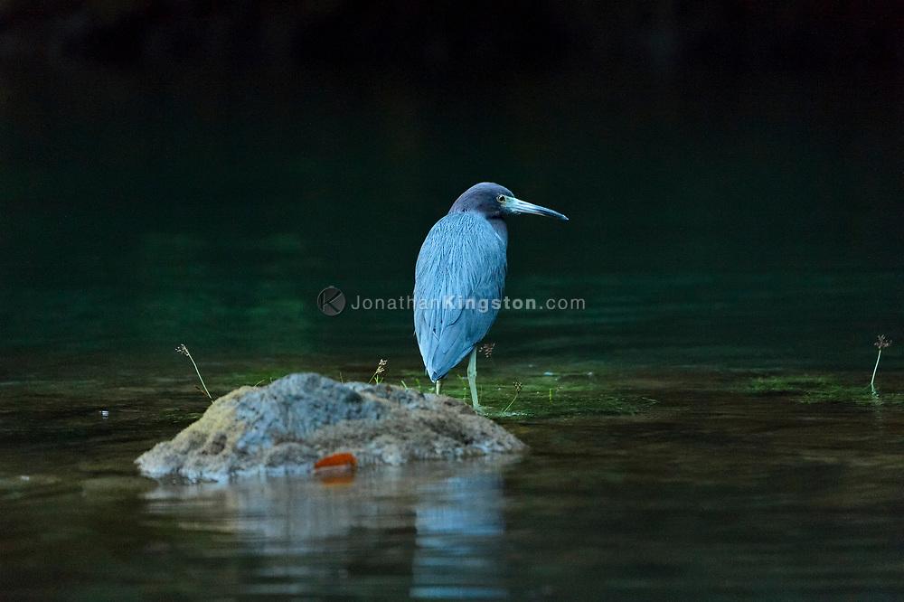 A Little Blue Heron (Egretta caerulea) in the Rio Agujitas near Punta Rio Claro National Wildlife Refuge, Costa Rica.