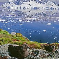 ANTARCTICA. Nesting brown skuas (Catharacta antarctica) & moss above Paradise Bay, Antarctic Peninsula.