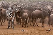 A zebra (Equus quagga) in a wildebeets herd (Connochaetes taurinus) waiting to cross the Mara river, Masai Mara, Kenya.