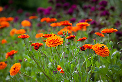 Calendula officinalis 'Indian Prince' (Prince Series) with Dianthus barbatus 'Oschberg' in the cutting garden. Marigolds
