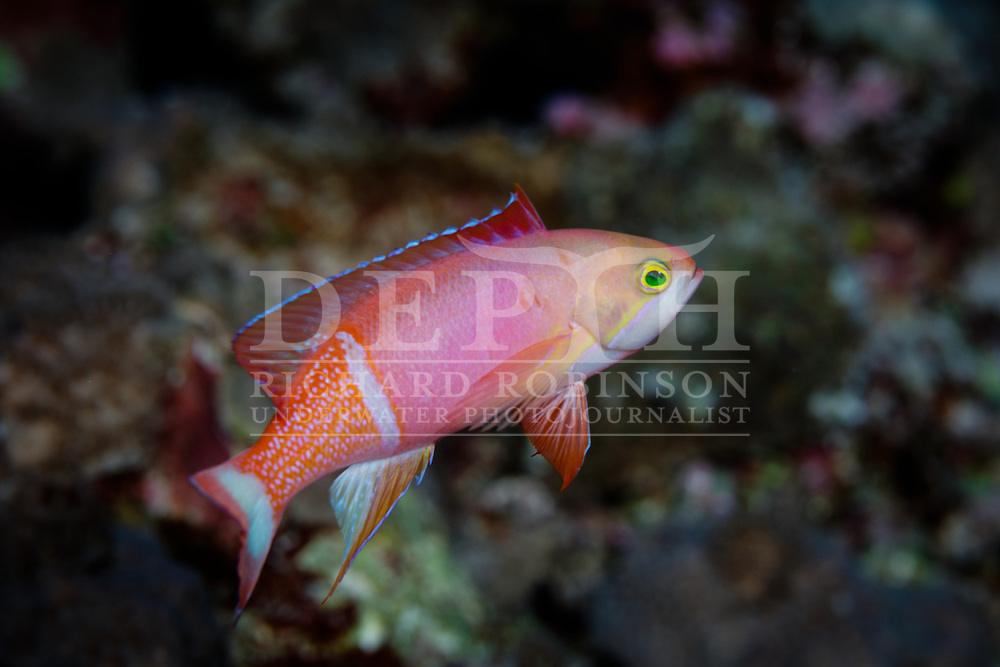 Pseudanthias pictilis (Painted anthias) male at Vautoa Ono in the Lau Island Group of Fiji.<br /> Tuesday 15 August, 2017<br /> Photograph Richard Robinson © 2017