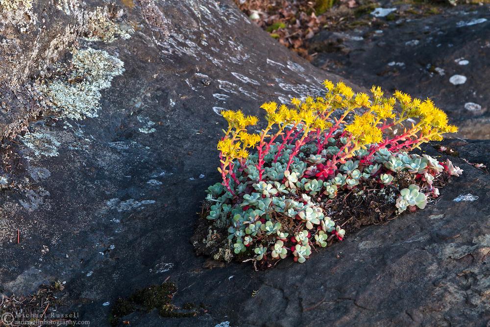 Broad Leaved Stonecrop (Sedum spathulifolium) growing on the sandstone  in Biggs Park near Nanaimo, British Columbia, Canada