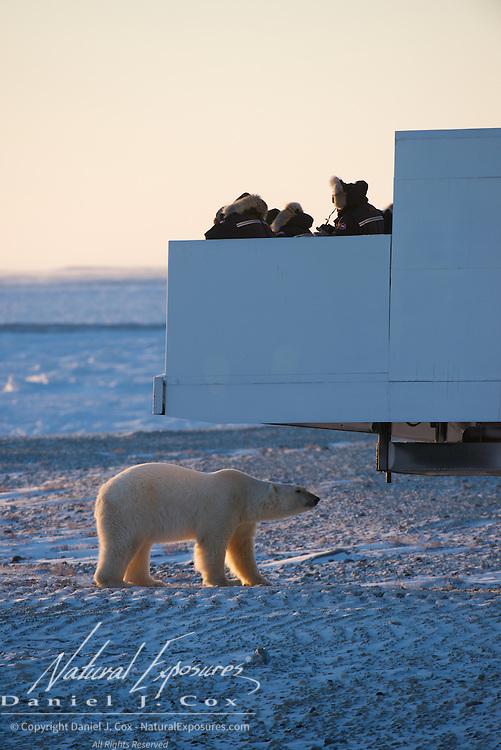 Polar bear investigates a Tundra Buggy at Cape Churchill, Hudson Bay, Manitoba.