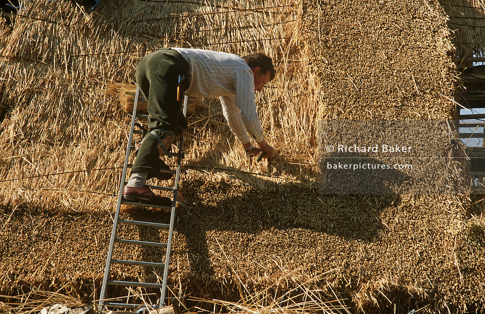 Layering water reed on to the roof of a Suffolk cottage, traditional thatchers work together in afternoon sun. While in the background new straw is brought up onto the roof while in the foreground another thatcher leans into the ladder and the roof's slope. Using a thatching tool called a Leggett, Legate, bat or dresser to position the thatch on the roof. Typically one end is treated so as to catch the ends of the reed used. This tool is used by the thatcher to dress the reed into place and ensure an even finish. Using techniques developed over thousands of years, good thatch will not require frequent maintenance. In England a ridge will normally last 10-15 years. Thatching is the craft of building a roof with dry vegetation such as straw, water reed, sedge, rushes and heather, layering the vegetation so as to shed water away from the inner roof.