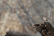 Photograph of Song Sparrow from San Pedro Riparian National Conservation Area, AZ