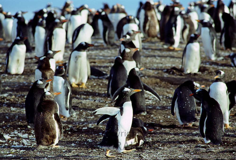 Gentoo penguins, Pygoscelis papua, on the beach at Sea Lion Island in The Falkland Isles