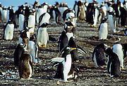 Gentoo penguins, Pygoscelis papua, on the beach at Sea Lion Island in The Falkland Isles