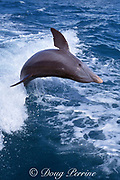 JoJo, a wild sociable bottlenose dolphin, Tursiops truncatus, jumps in a boat wake, Providenciales, Turks and Caicos ( Western Atlantic Ocean )