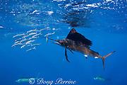 Atlantic sailfish, Istiophorus albicans, bats a sardine out of a bait ball of Spanish sardines (aka gilt sardine, pilchard, or round sardinella ), Sardinella aurita, off Yucatan Peninsula, Mexico ( Caribbean Sea )