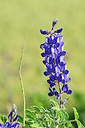 Israeli wildflowers - Blue Lupine (Lupinus pilosus)