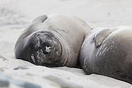 Antarctic Fur seals sleeping in the sand on Sea Lion island, Falkland Islands