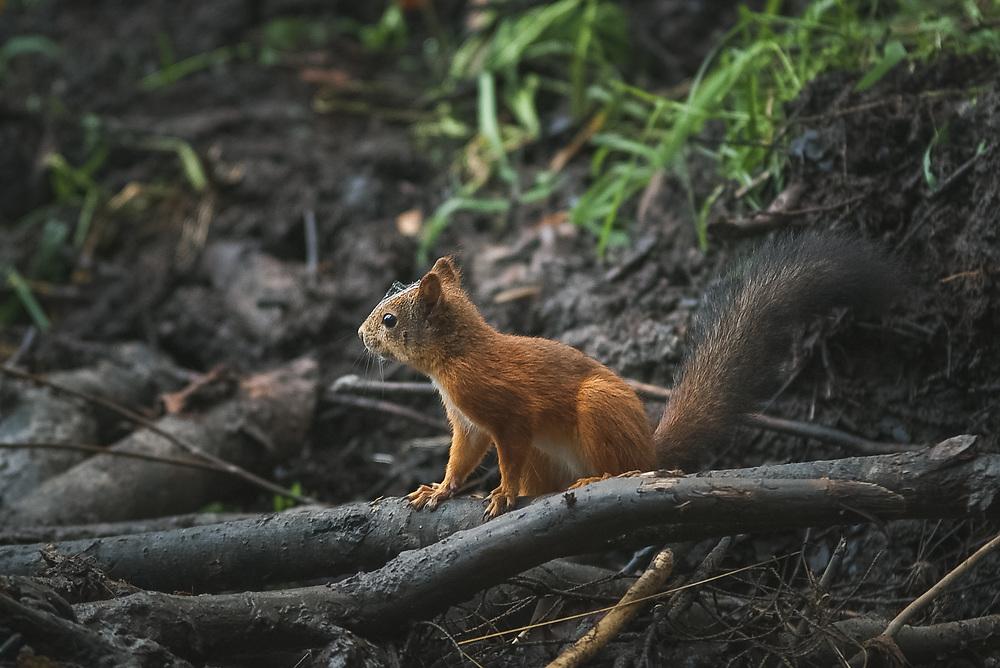 Red squirell (Sciurus vulgaris) on beaver dam, Northern Vidzeme, Latvia Ⓒ Davis Ulands | davisulands.com