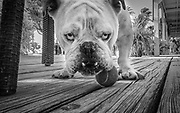 Duke, the English bulldog, is the mascot of  El Pescador Lodge managers Ed and Lisa in San Pedro, Belize.