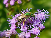 A Bicolored Striped Sweat Bee (Agapostemon virescens) on Blue Mistflower (Conoclinium coelestinum) near North Meadon in Central Park today.