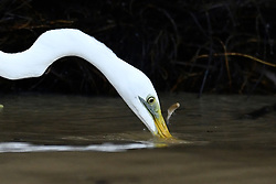 An Egret is pictured as it hunt fish in the Kinabatangan River, on August 5, 2019 near Sandakan city, State of Sabah, North of Borneo Island, Malaysia. Photo by Emy/ABACAPRESS.COM