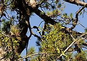 A female European Mistletoe (Viscum album) with berries growing on a pine tree. Theth, Albania. 04Sep15