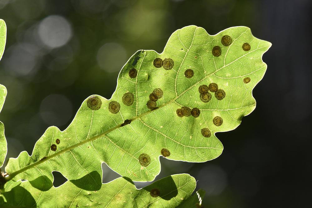 Spangle Galls - Neuroterus quercusbaccarum