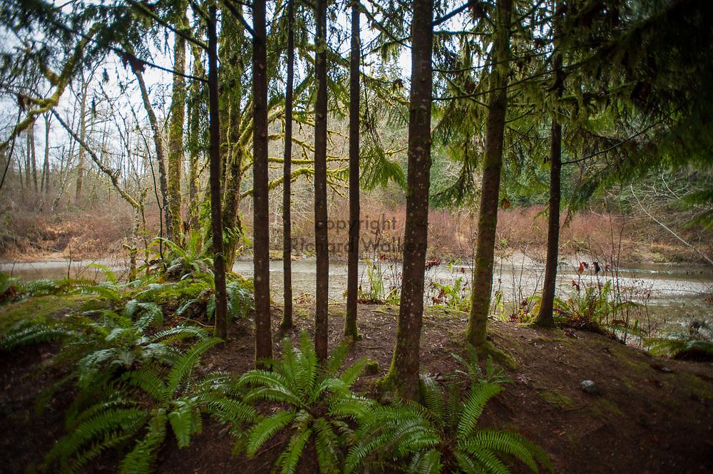 2014 January 01 - Trees with Pilchuck River at Tsubaki Grand Shrine, Granite Falls, WA. New Years Hatsumode. By Richard Walker