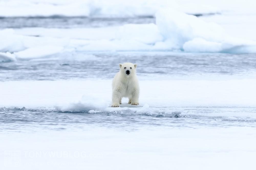Polar bear cub (Ursus maritimus) playing on ice in northern Svalbard.