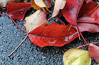 The vivid colors of fallen leaves after a late November rain in Salinas.