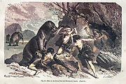 Machine colorized image of Great Bear and mammoth epoch, according to the French illustrator Emile Bayard (1837-1891), illustration Artwork published in Primitive Man by Louis Figuier (1819-1894), Published in London by Chapman and Hall 193 Piccadilly in 1870