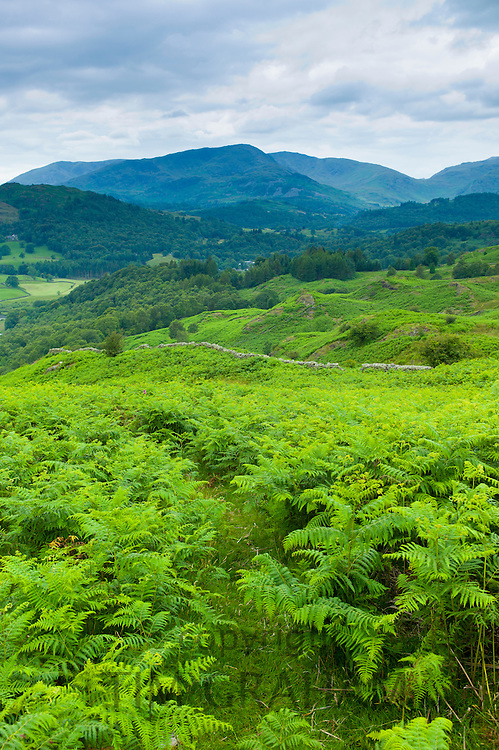 Dense bracken on country walk near Lake Windermere in the Lake District National Park, Cumbria, UK