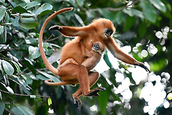 A red leaf monkey jumps with her baby on the wild Jackfruit tree in Danum Valley Conservation Area, on August 5, 2019 near Lahad Datu city, State of Sabah, North of Borneo Island, Malaysia. Palm oil plantations are cutting down primary and secondary forests vital as habitat for wildlife including the critically endangered red leaf monkeys. Photo by Emy/ABACAPRESS.COM