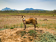 02 APRIL 2016 - NA SAK, LAMPANG, THAILAND:  A semi feral dog in what used to be Sobjant village. The flats he's cooking should be under two meters of water at this time of year. He trapped the fish in a puddle about 500 meters from his cooking fire. The village of Sobjant in Na Sak district in Lampang province was submerged when the Mae Chang Reservoir was created in the 1980s. The village was relocated to higher ground a few kilometers from its original site. The drought gripping Thailand drained the reservoir and the foundations of the Buddhist temple in the original village became visible early in 2016. Thai families come down to the original village to pray in the ruins of the temple and look at what's left of the village.     PHOTO BY JACK KURTZ
