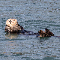 A floating sea otter, nicknamed The Old Man of the Sea, watches our boat go by. Kenai Fjords National Park, Alaska