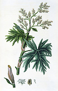 Rhubarb (Rheum officinalis) used as a laxative, a tonic and an astringent. Hand coloured engraving from Simeon Shaw 'Nature Displayed', London, 1823