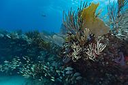 Gorgonian and reef - Gorgone (Gorgonacea), Playa del carmen, Yucatan peninsula, Mexico.