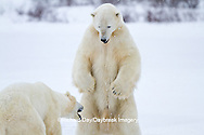 01874-12605 Two Polar bears (Ursus maritimus) sparring in winter, Churchill Wildlife Management Area, Churchill, MB Canada